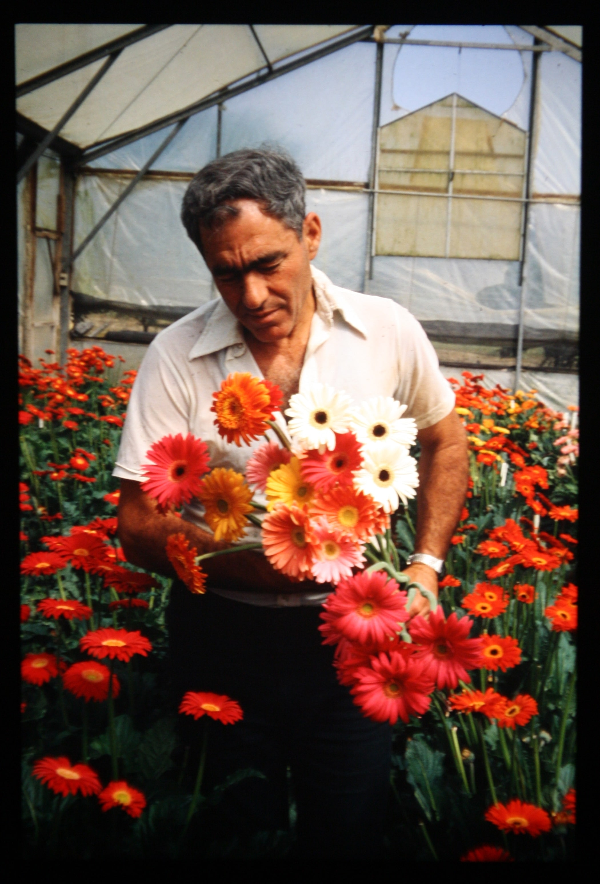 Dr. Yosef Shuv at the Ganei Am greenhouse, 1983