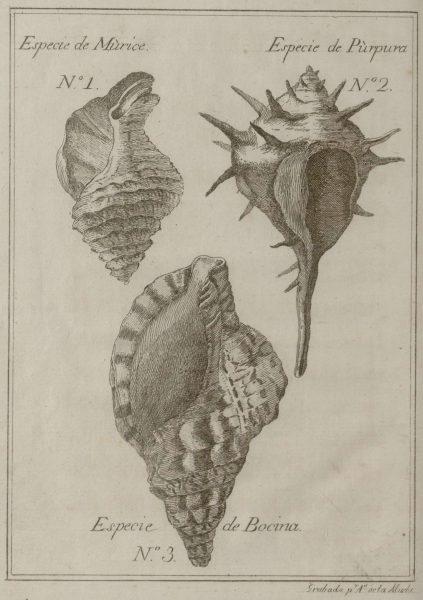 (תמונה 1) תמונת קונכיות מתוך הספר Memorias sobre la púrpura de los antiguos, restaurada en España, מדריד 1779